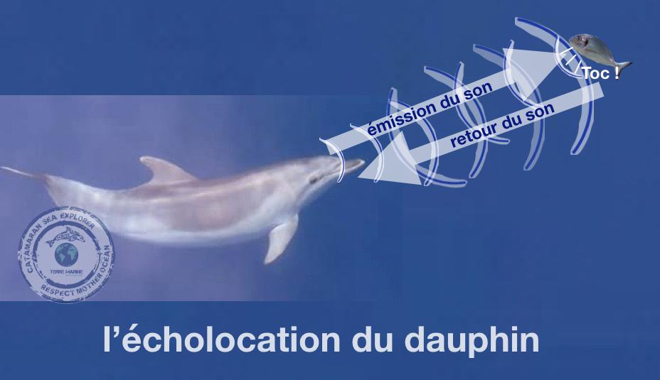 écholocation dauphin Association Terre Marine