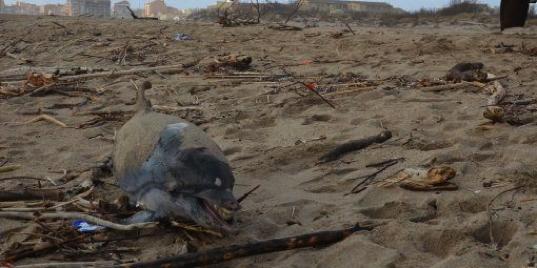 Échouage dauphins Sérignan